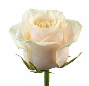 Купить белорусские розы из теплицы минске доставка цветов в кунгуре заказ онлайн